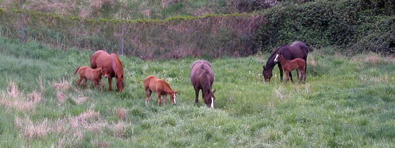 Sunrise West mares and foals at pasture