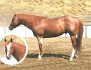 Verily Sixes, AQHA red roan stallion